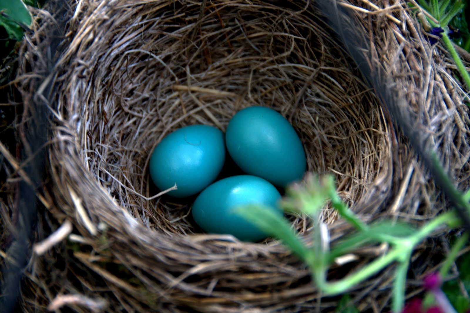 3 robin eggs in my mother�s flower pot awesomebitch